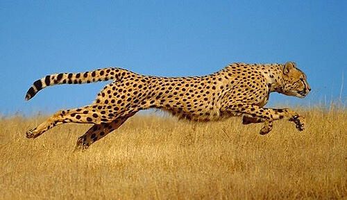 ghepardo-agile